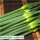 【まもなく終了!】 無臭にんにくの芽 1kg 県特別栽培 (青森県 須藤農園)産地直送
