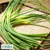 【予約商品】にんにくの芽 5kg 農薬・化学肥料不使用 (福岡県 たなかふぁーむ) 産地直送