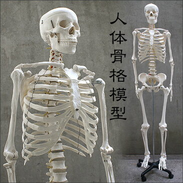 [1年保証] 人体模型 約166cm 人体骨格模型 等身大の人体の骨格をリアルに表現!人体骨格模型 ヒューマンスカル 模型 人体模型 骨格標本 骨格モデル 整体 整骨院 おもちゃ 楽天 激安 セール リアル 小道具 おもちゃ[送料無料]