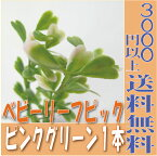 【即納】 プリアート ベビーリーフピック【ピンクグリーン 小分け 1本入】ディスプレイミュージアム