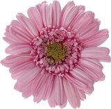 【即納】 プリザーブドフラワー 花材 30%OFF ガーベラ 【プリンセスピンク 箱 9輪入】 大地農園