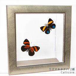 昆虫標本 蝶の標本 ウズマキタテハ 2頭 メタリック調ライトフレーム
