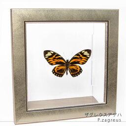 昆虫標本 蝶の標本 ザグレウスアゲハ メタリック調ライトフレーム