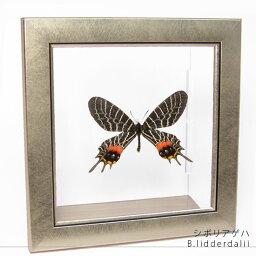 昆虫標本 蝶の標本 シボリアゲハ メタリック調ライトフレーム
