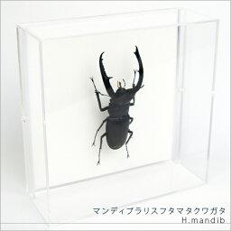 昆虫標本 マンディブラリスフタマタクワガタ アクリルフレーム 透明