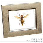 虫の標本 オオスズメバチ メタリック調ライトフレーム 額 インテリア 自然 ネイチャー オブジェ 【送料無料】