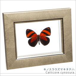 昆虫標本 蝶の標本 キノスラウズマキタテハ メタリック調ライトフレーム