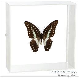 昆虫標本 蝶の標本 ミナミミカドアゲハ アクリルフレーム 白