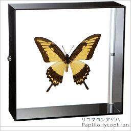 昆虫標本 蝶の標本 リコフロンアゲハ アクリルフレーム 黒