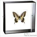 昆虫標本 蝶の標本 キアゲハ アクリルフレーム 黒