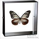 蝶の標本 アサギマダラ アクリルフレーム 黒