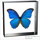 蝶の標本 ディディウスモルフォ モルフォチョウ アクリルフレーム 黒 ...