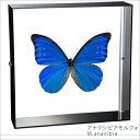 蝶の標本 アナクシビアモルフォ モルフォチョウ アクリルフレーム 黒 ...