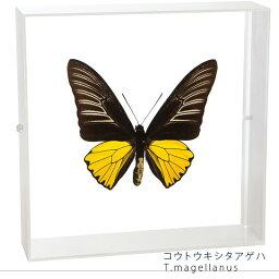 昆虫標本 蝶の標本 コウトウキシタアゲハ アクリルフレーム 白