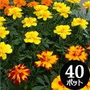 花苗 マリーゴールド・カラーミックス 40個 セット (3寸