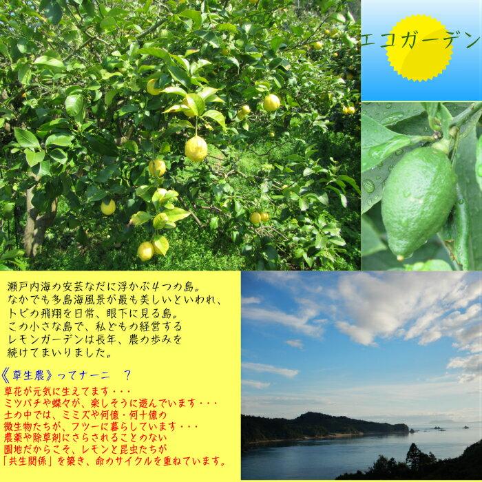 無農薬・草生。潮の香レモン2.5kg送料無料国内消費量の1パーセントに満たない超奇跡のレモンです。美箱・朝採り直送・葉付き。