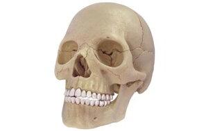 アオシマ 4D VISION 立体パズル No.23 人体解剖モデル 1/2 頭蓋骨解剖モデル