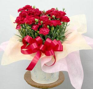 【母の日】鉢花・赤いカーネーションの鉢 バケツ入 フラワーギフト 花の贈り物 誕生日 母の日 プレゼント