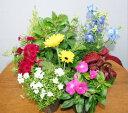 【鉢花】季節の寄せ植え・苗セット【あす楽】