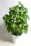 パッションフルーツ トケイソウ 時計草 クダモノトケイ果物時計 鉢花 苗 観葉植物 あす楽対応