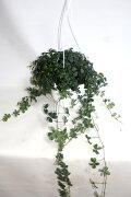シュガーバイン吊り鉢観葉植物鉢花寄せ植え【あす楽】