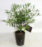 オリーブの木 ミニ ネバディブランコ【鉢花】【観葉植物】【あす楽対応】