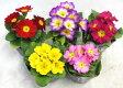 プリムラ ジュリアン 450 【花苗】【鉢花】【寄せ植え】【あす楽対応】【RCP】