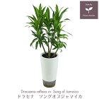 観葉植物ソングオブジャマイカ白鉢M
