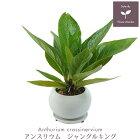 観葉植物アンスリウムジャングルキングS