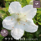 サツキ博多白5本セット15cmポット【送料無料植木庭木常緑低木】