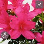 平戸ツツジ 苗 赤花 5本セット 15cmポット送料無料 植木 庭木 常緑 低木