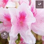 平戸ツツジ 苗 桃花 5本セット 15cmポット送料無料 植木 庭木 常緑 低木