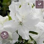 平戸ツツジ 苗 白花 5本セット 15cmポット送料無料 植木 庭木 常緑 低木