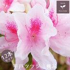平戸ツツジ 桃花 12本セット 15cmポット 【送料無料 植木 庭木 常緑 低木】