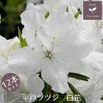 平戸ツツジ 白花 12本セット 15cmポット 【送料無料 植木 庭木 常緑 低木】