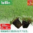 芝生 天然芝 ティフトン ポット苗 セルトレー 5cm角×100個 送料無料 (芝生 通販)
