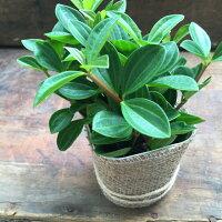 ペペロミアフォーレット☆観葉植物