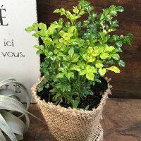 シマトネリコ☆観葉植物