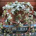 ピレア・グラウカ☆観葉植物
