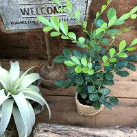 シルクジャスミン観葉植物インテリア柑橘系の香りの花ガーデニング