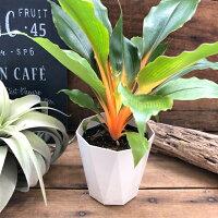 【観葉植物】希少珍しいオレンジグローネオンカラーインテリアグリーン