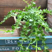 垂れ下がりミリオンハートディスキディア観葉植物