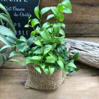 スマイラックス♡ブーケの葉っぱ♡観葉植物♡寄せ植え♡ガーデニング