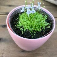 即完売ウサギゴケ食虫植物可愛いガーデニング多肉植物