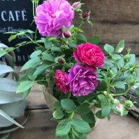 大人気四季咲きスィートチャリオットミニバラ大人気ガーデニング