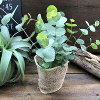 希少レア品種ベイビーブルーユーカリ観葉植物ガーデニング