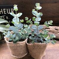 最も美しい銀葉シルバーダラーユーカリガーデニング観葉植物