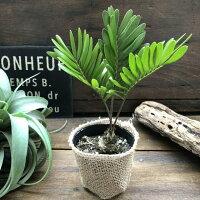 希少高価なザミアハート観葉植物インテリアガーデニング