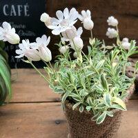 斑入りの可愛い花ナッキーホワイト毎年咲きますガーデニング寄せ植え