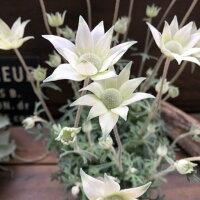 リトルエンジェルフランネルフラワー可愛い白花